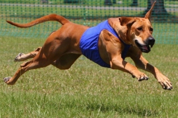 The Sport of Lure Coursing